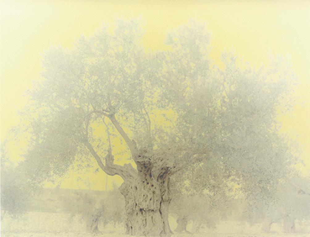 olive 12