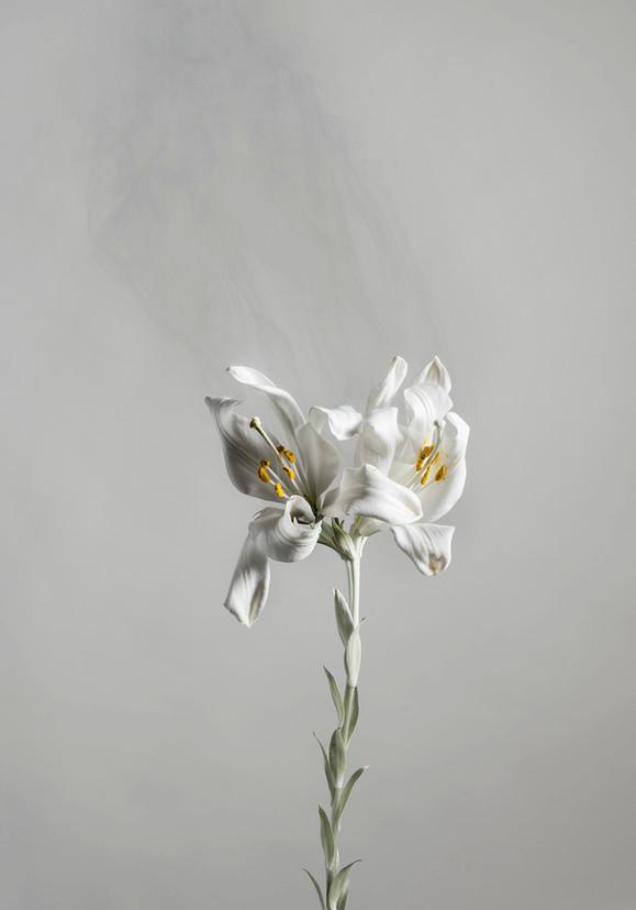 Lilium candidum D05