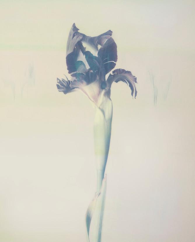 Iris P02