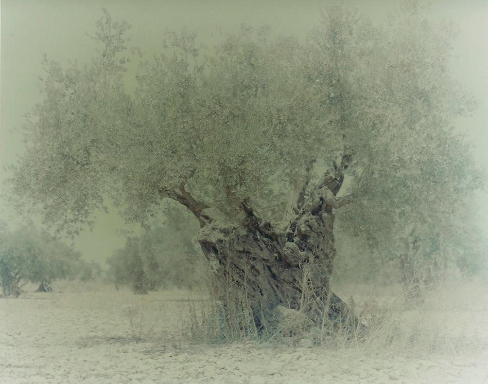 olive 04