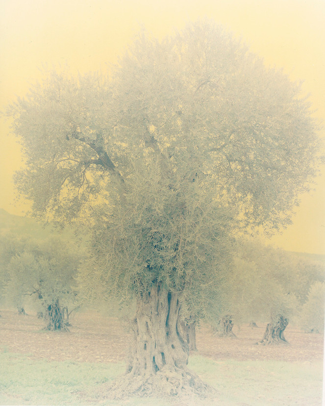 olive 31