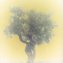 olive 11