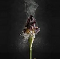 Iris atropurpurea D02