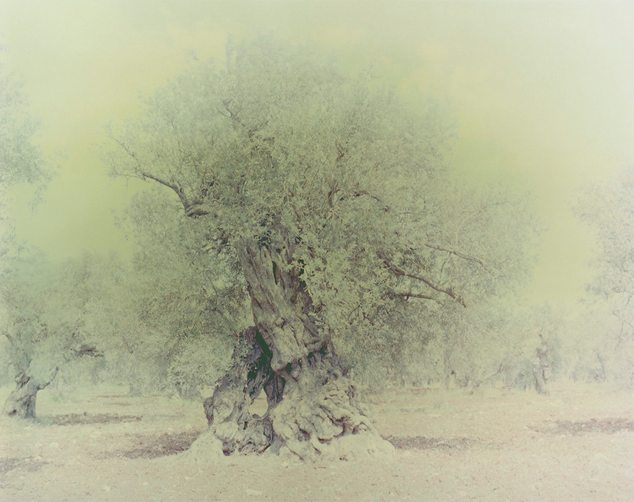olive 16