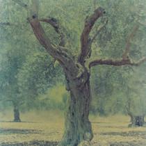 olive 21n.jpg