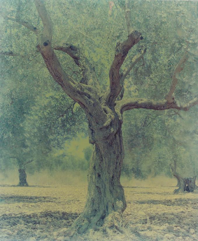 olive 21