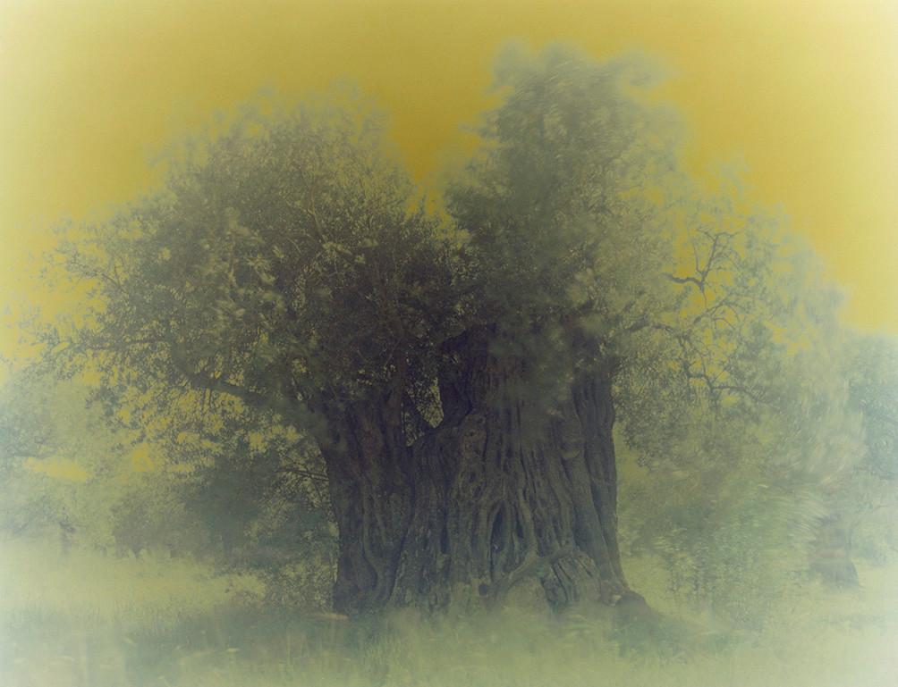 olive 13
