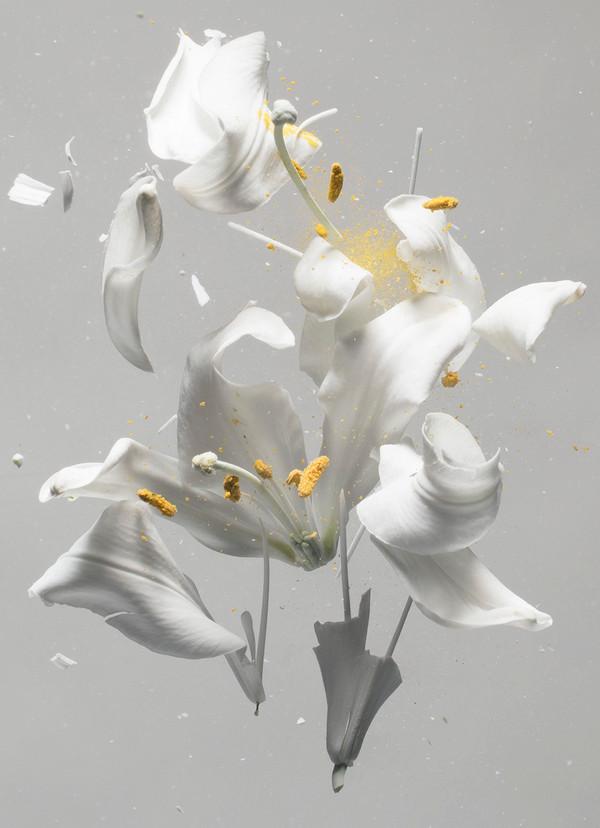 Lilium candidum D01