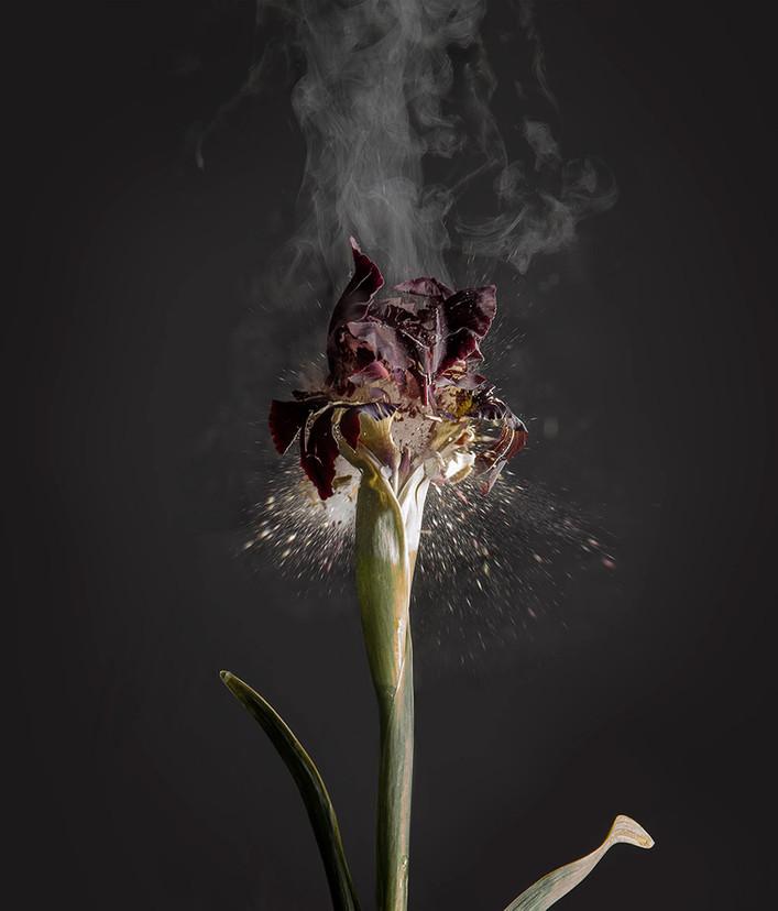 Iris atropurpurea D01