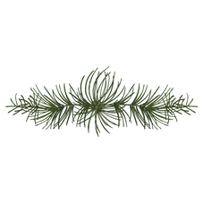 Borovice smrkové větve 4
