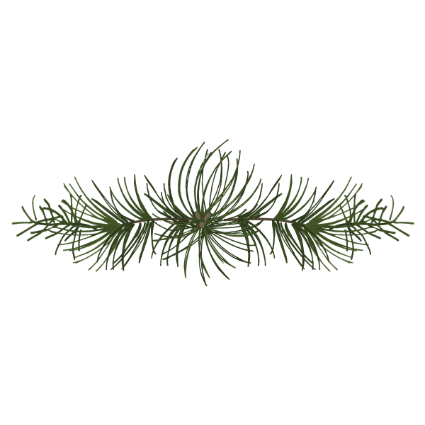 Pine Spruce Branches 4