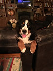 Bernese Mountain Dogs of Wyoming