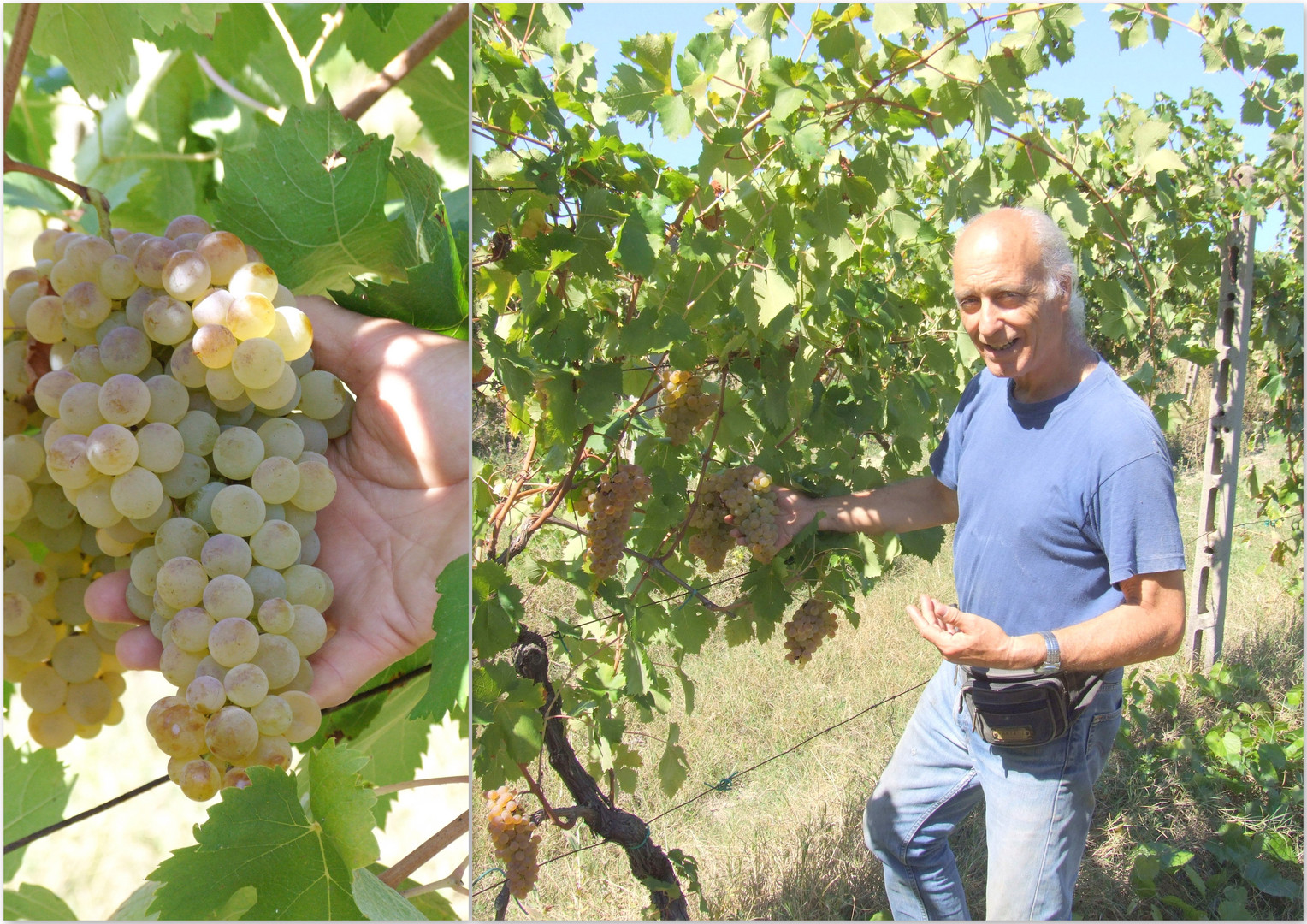 5-1 Paolo selecting grapes collage.JPG