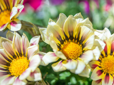 La fine fleur de la botanique : le Gazania