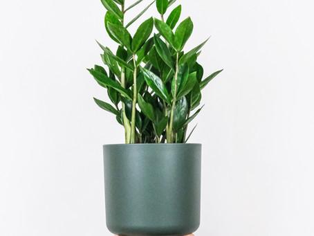 La fine fleur de la botanique : le Zamioculcas