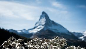 La fine fleur de la botanique : l'Edelweiss