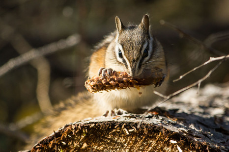 Chipmunk eating some grain on top of a log