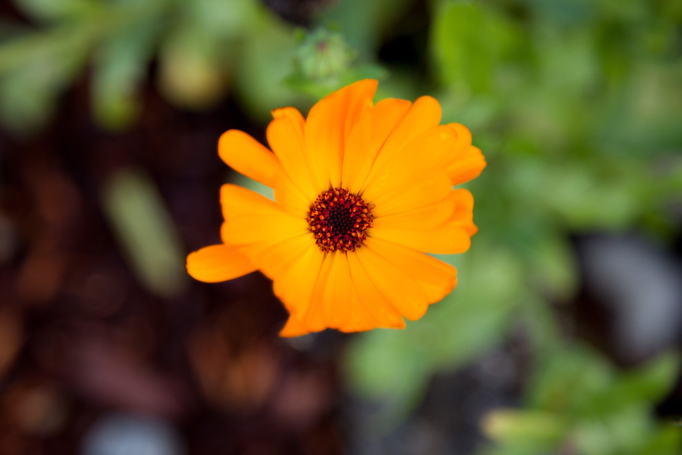 Orange mountain flower with the background of greens and browns out of focus