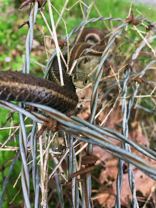 A snake hidden in the grass and tall weeds