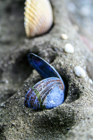 Close up of an open blue seashell with a cream colored one in the background