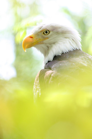 Profile of a Bald Eagle close up with tree out of focus in forground