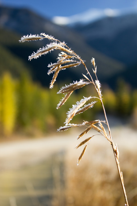 Close up frost covered mountain grain