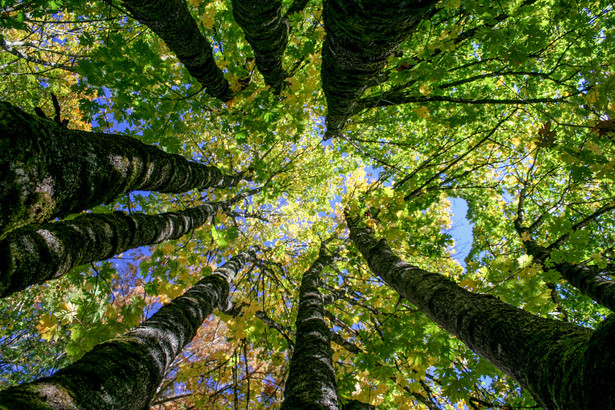 Forest canopy looking up from below