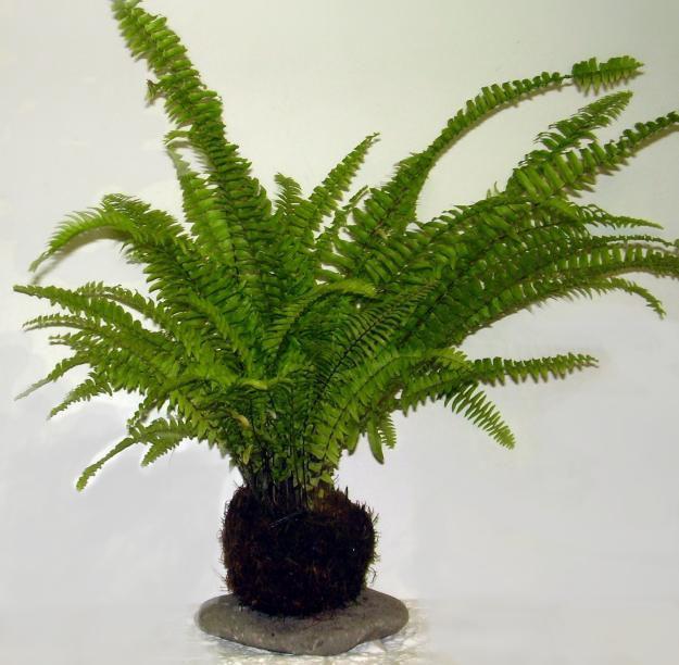 Arte kokedama for Plantas decorativas hidroponicas