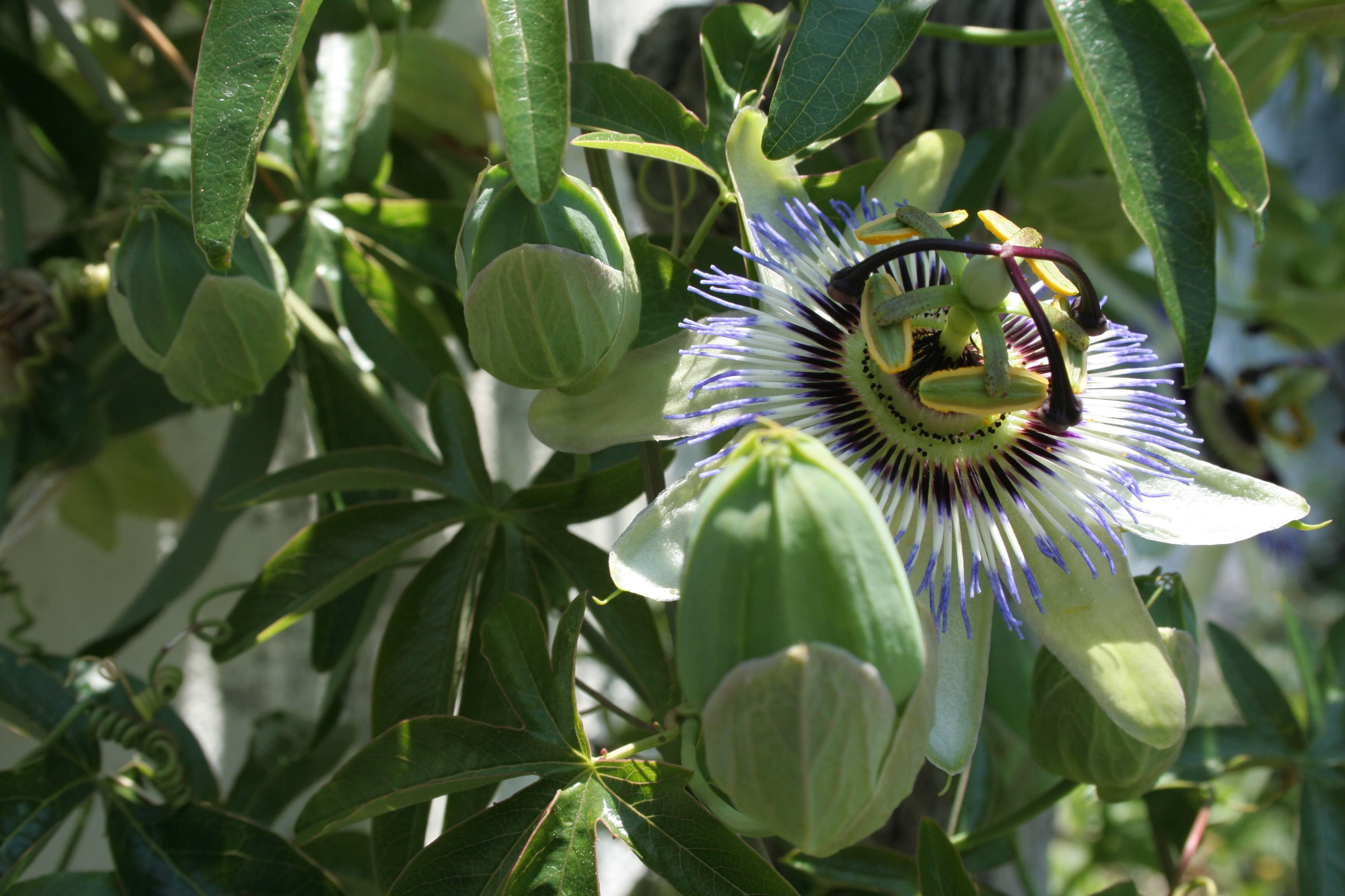La Passiflora en Fleur .jpg