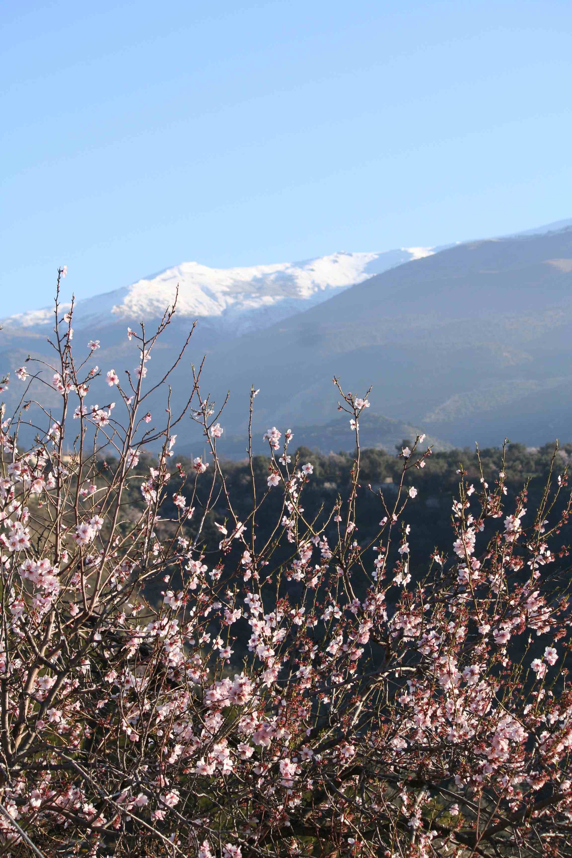 Les_Amandiers_en_Février_et_la_Sierra_Nevada.jpg