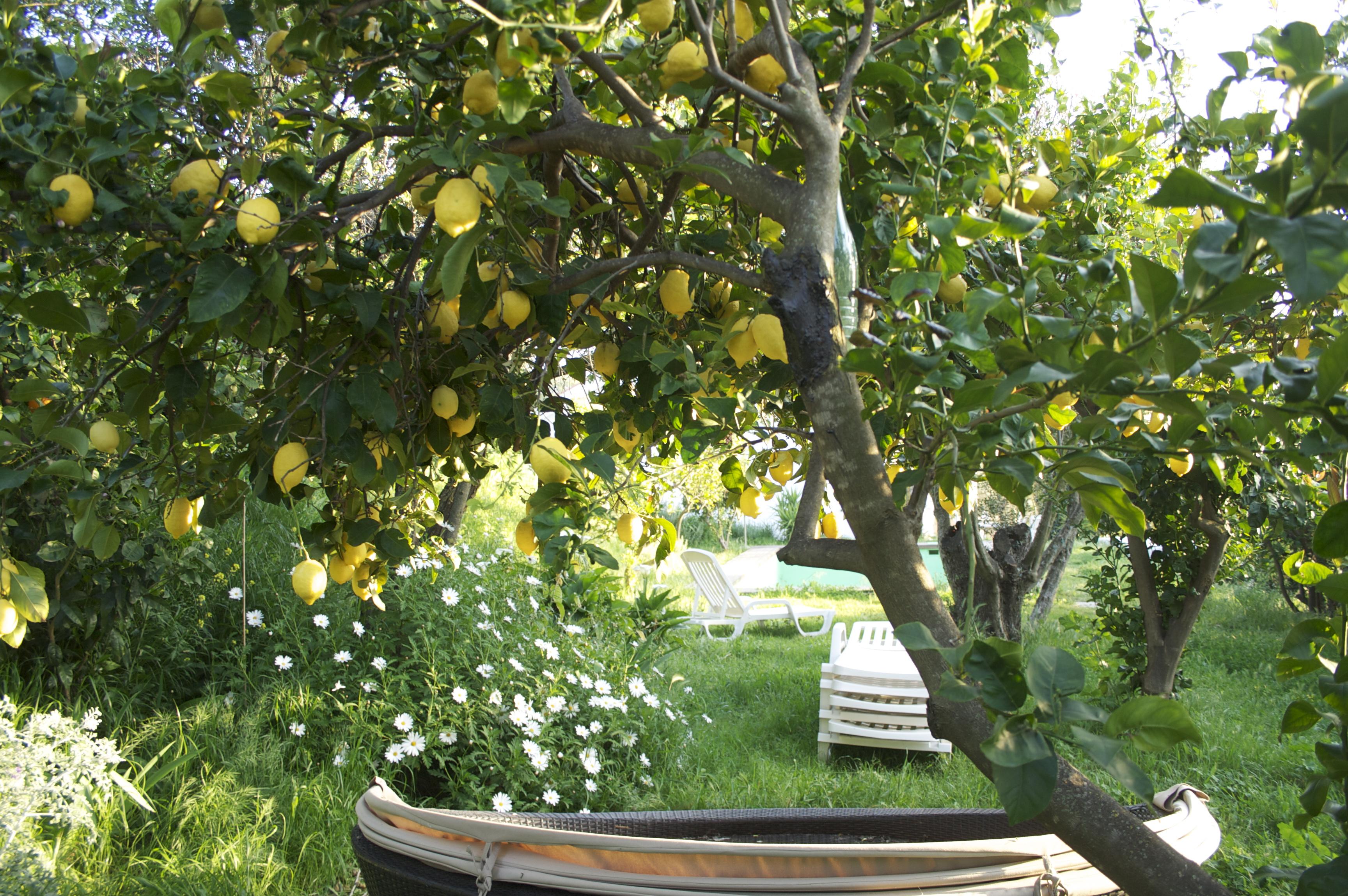 plein de lemon