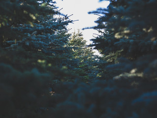 Where to Cut Christmas Trees Around DC