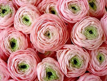 Pink and Green Ranunculas.JPG