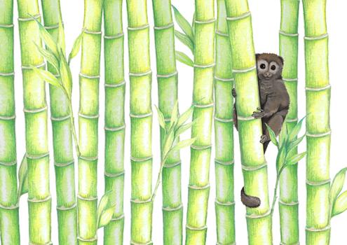 Bamboo Lemur, 2016