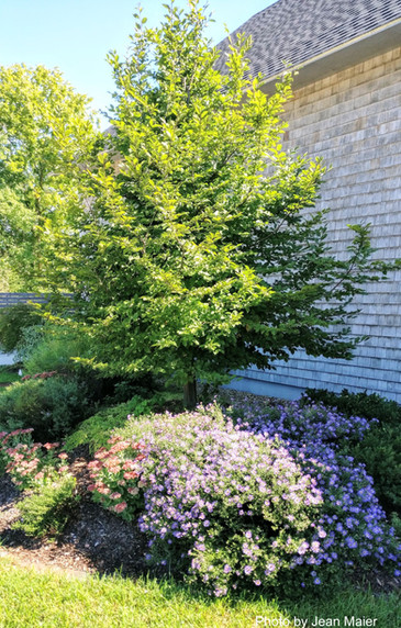 European Hornbeam at the parking lot entrance.  Flowering perennials under are Autumn Joy sedum and a blue Aster (variety unknown).