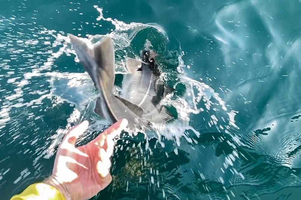 Köhler Seelachs Fliegenfischen Coalfish Fly Fishing
