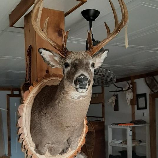 Buste chevreuil/Deer shoulder mount