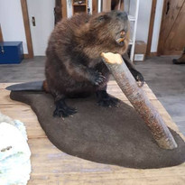 Castor/beaver full mount