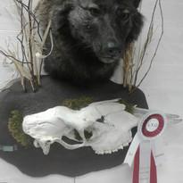 Loup noir/black wolf
