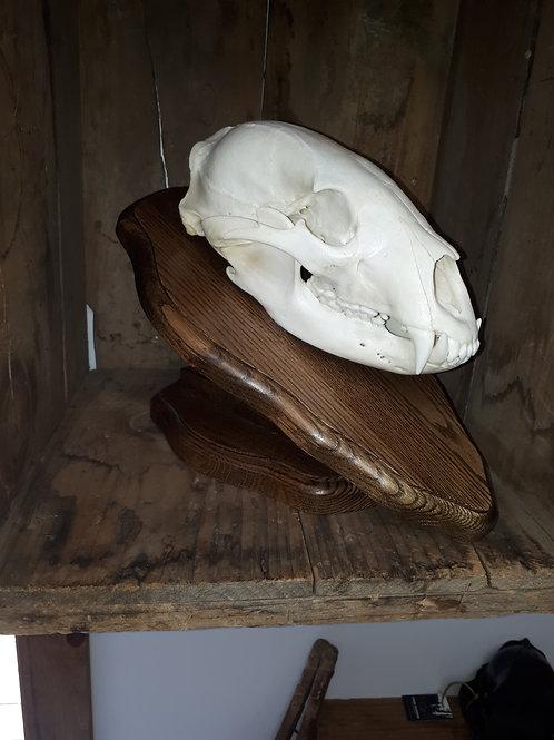 crânes blanchis