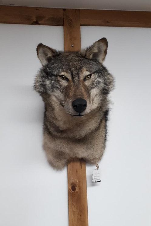 loup naturalisé