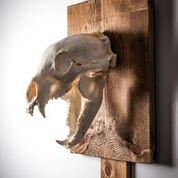 Crâne d'ours/Bear skull