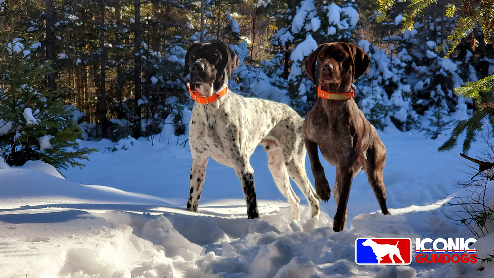 German shorthaired pointer, braques allemands, NAVHDA hunting dogs.