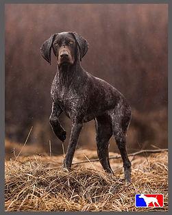 german shorthaired pointer hunting dog, NAVHDA, Breeding program