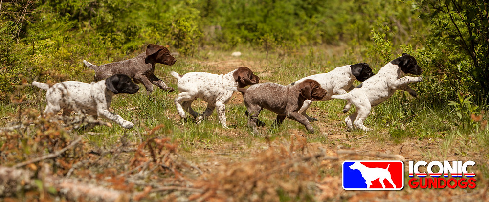 German shorthaired puppies crossing the path