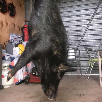 Young boar.