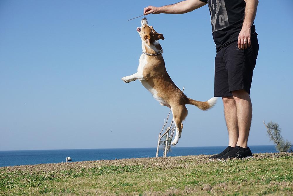 קורגי קופץ
