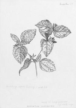 Agerantum conyzoides