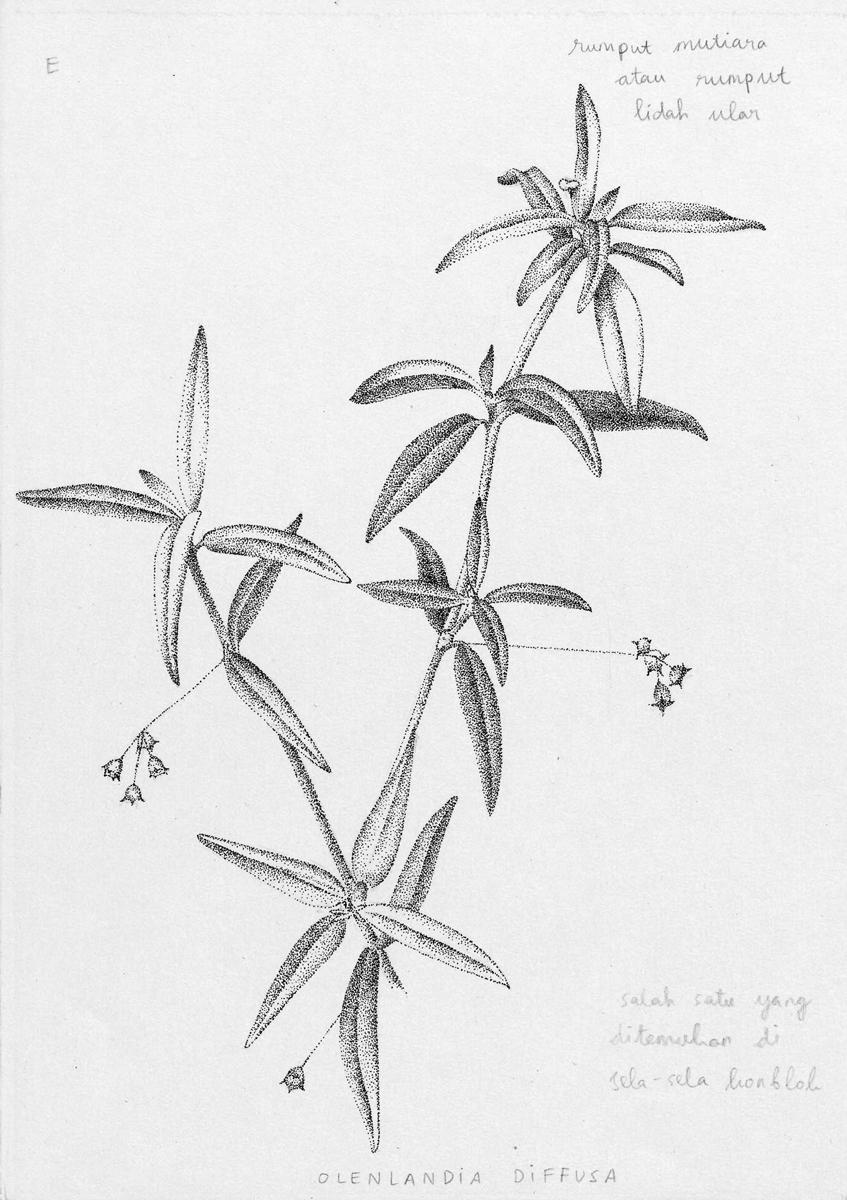 Olenlandia diffusa
