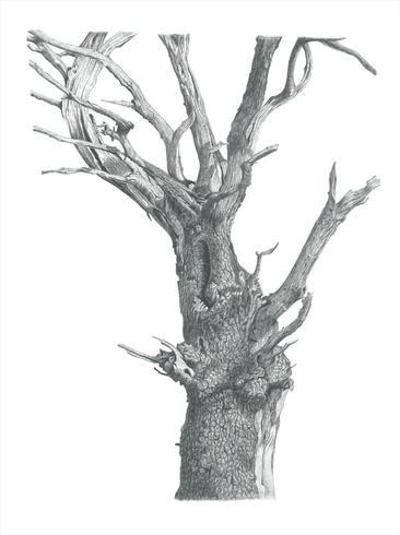 Ickworth Tree 2